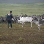 Ловля оленей арканом